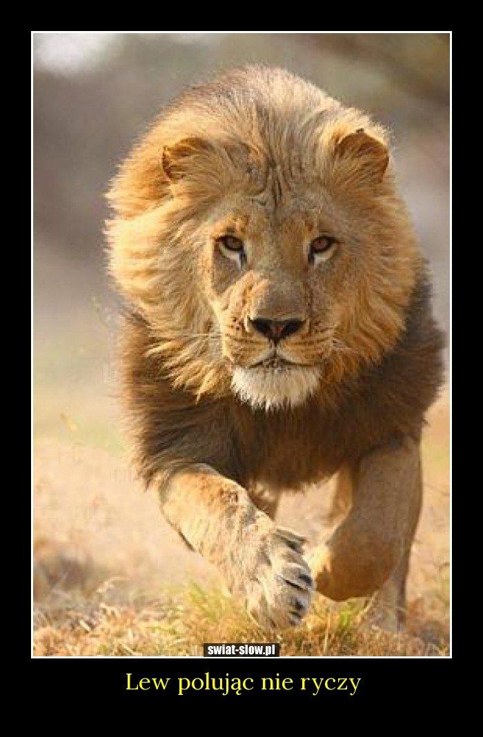 Lew polując nie ryczy