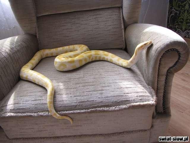 Udomowiony wąż